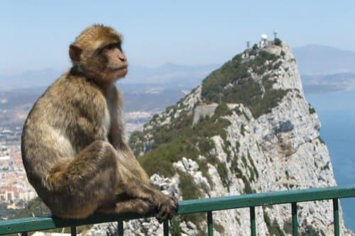Гибралтар обезьяны